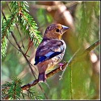 Hawfinch (occothraustes coccothraustes)
