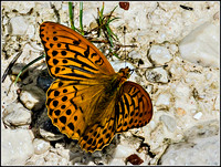 Silver Washed Fritillary (Argynnis paphia)