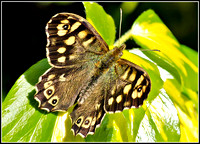 Speckled Wood ( Pararge aegeria)