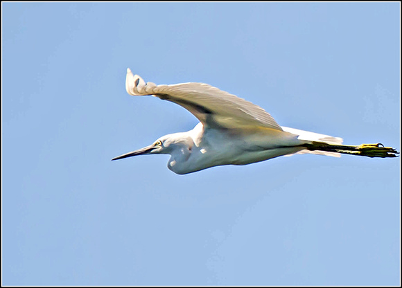 Little Egret (Egretta gazette)